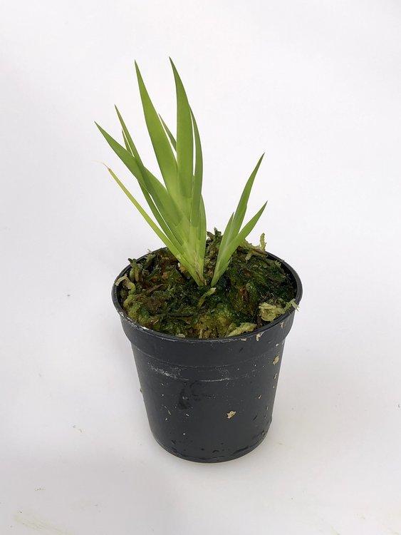 Jacquiniella equitantifolia