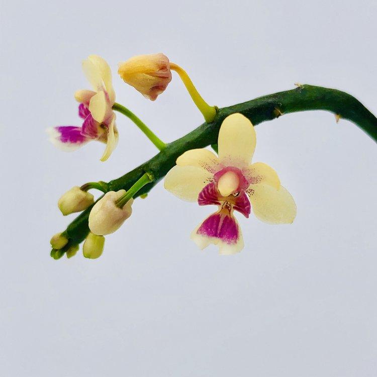 Kingidium delicioso var. hookeriana