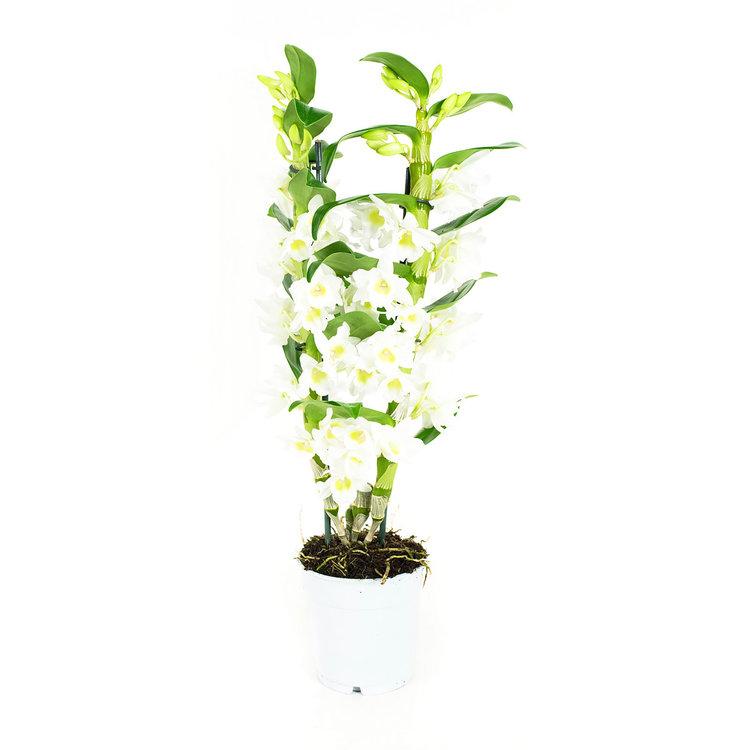 Dendrobium Nobile  Apollon 2T (DNAP02B0HW)