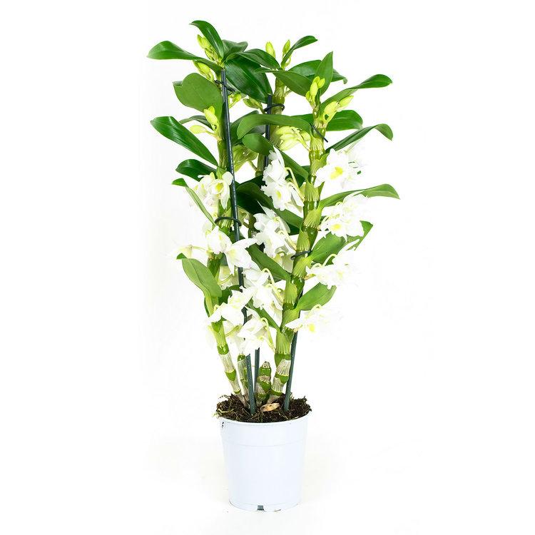 Dendrobium Nobile  Apollon 3T(DNAP03B0I2)