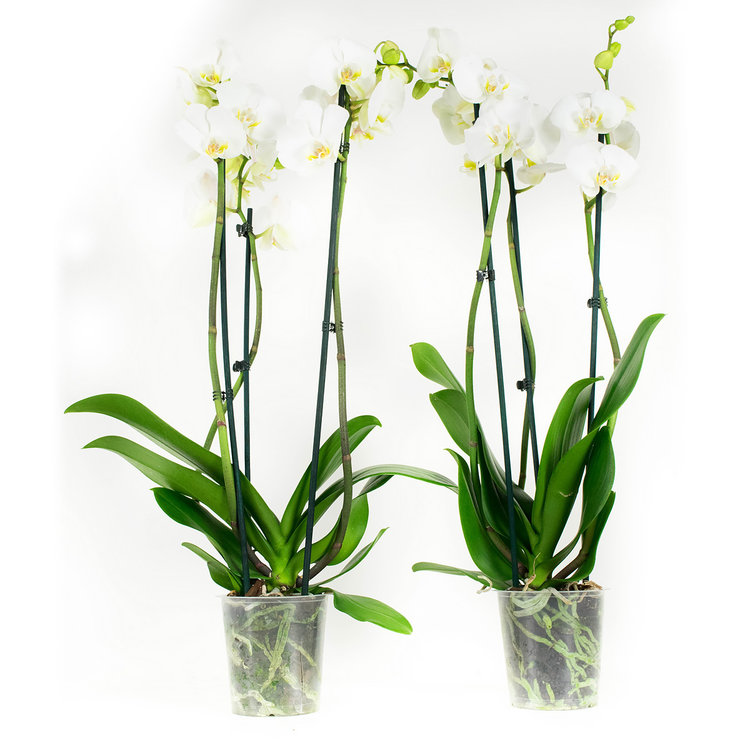 Phalaenopsis  Wit (PH3803G02B)