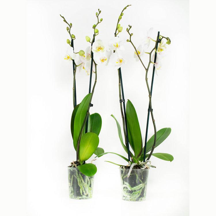 Phalaenopsis Springtime (PHSU02G02A)