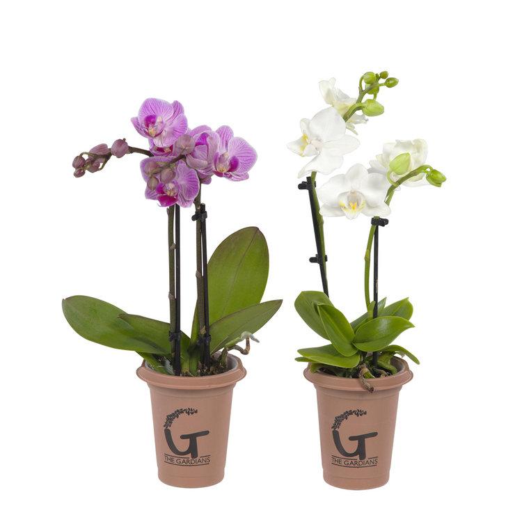 The Gardians  mini 2tak  rose -  wit(Phalaenopsis)