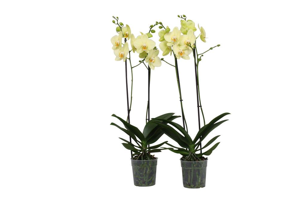 Phalaenopsis Alassio (Phalaenopsis Alassio )