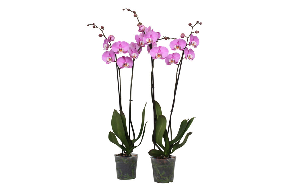Phalaenopsis Luxor (Phalaenopsis Luxor )