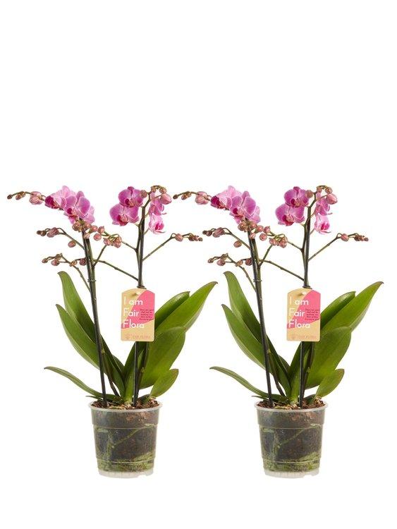 Phalaenopsis multiflora(Phalaenopsis multiflora Purple)