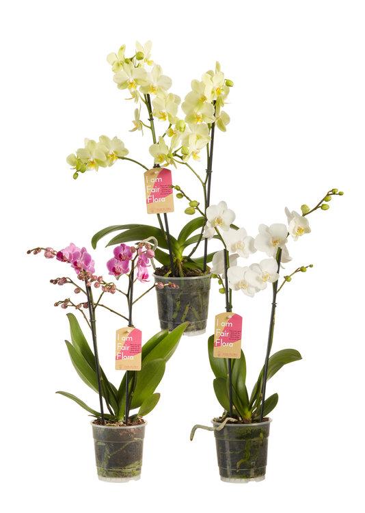 Phalaenopsis multiflora gemengd(Phalaenopsis multiflora gemengde kleuren)