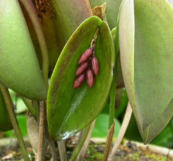 Acianthera hamosa