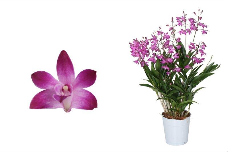 Dendrobium Berry Oda(DEBO0CF082)