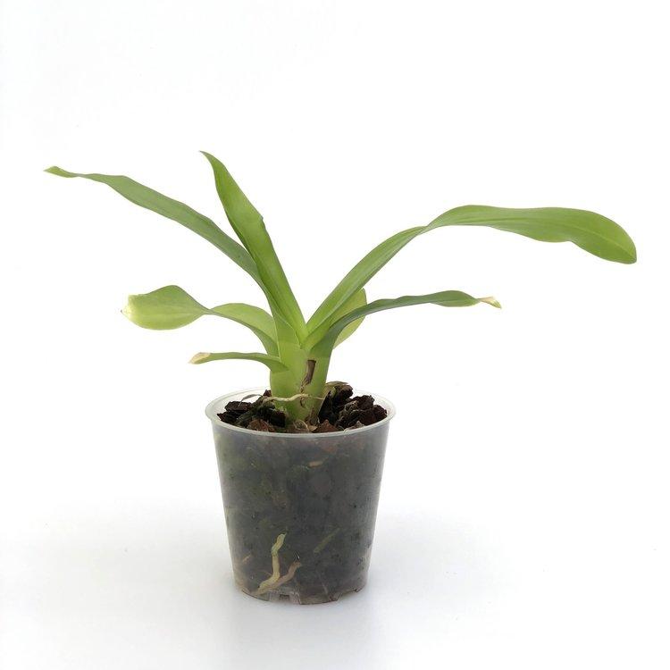 Brassia lanceolata