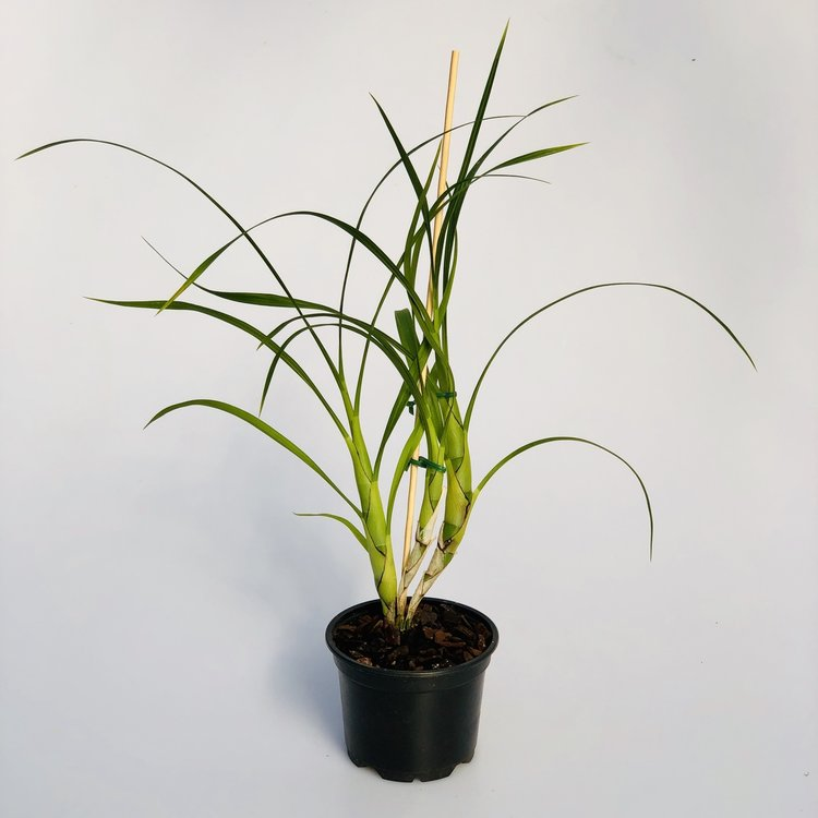 Cyrtopodium palmifrons