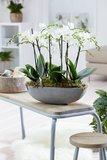 Phalaenopsis multiflora(Phalaenopsis multiflora white)_
