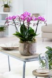 Phalaenopsis multiflora(Phalaenopsis multiflora Purple)_