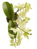 Phalaenopsis multiflora(Phalaenopsis multiflora yellow)_