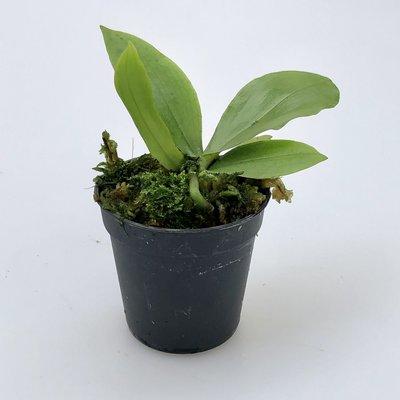 Eurychone rothschildianum x Aer kotschyana