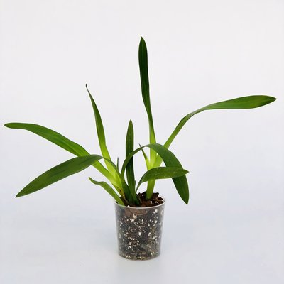Epidendrum prismatocarpum x vitalina
