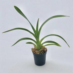 Grammatophylium speciosum