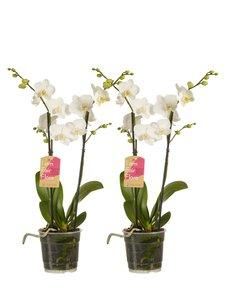 Phalaenopsis multiflora(Phalaenopsis multiflora white)
