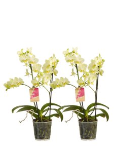Phalaenopsis multiflora(Phalaenopsis multiflora yellow)