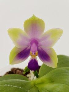 Phalaenopsis violacea Malaysia pink x bellina coerulea