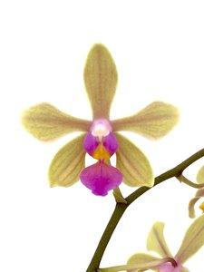 Phalaenopsis stobartiana x lindenii
