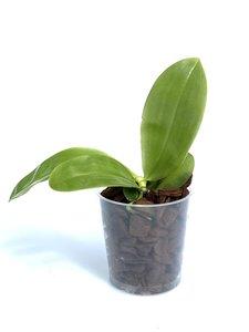 Phalaenopsis bellina bleu x violacea = samera