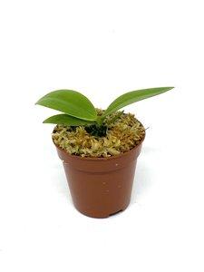 Phalaenopsis mannii ludo x lobbii
