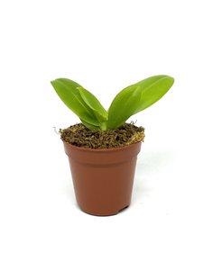 Phalaenopsis tetraspis x cochlearis