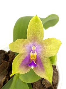 Phalaenopsis venosa x bellina