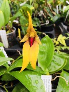 Bulbophyllum carunculatum