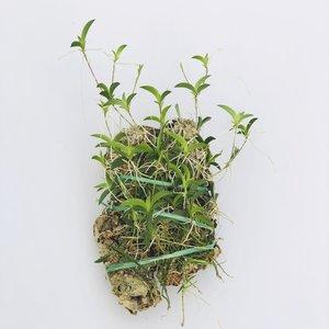 Oncidium hawkesianum