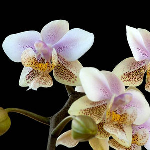 Phalaenopsis schilleriana x stuartiana = Wiganiae