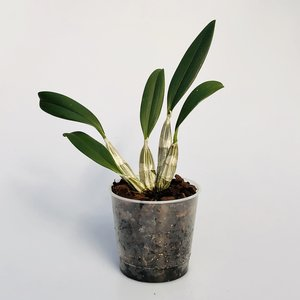 Dendrobium aggregatum x lindleyl