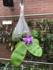 Phalaenopsis violacea indigo bleu in een hangend vaasje_