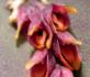 Acianthera hamosa_