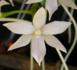 Aerangis articulata_