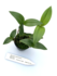 Dendrobium aberrans_
